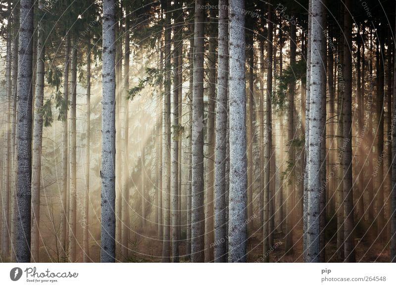 tagesanbruch Natur Pflanze Sonne Sonnenaufgang Sonnenuntergang Sonnenlicht Schönes Wetter Baum Fichte Tanne Baumstamm Nadelwald Wald frisch Umwelt ruhig
