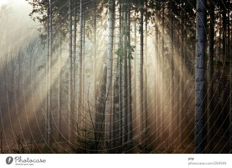 morgengrauen Natur Pflanze Sonne Sonnenaufgang Sonnenuntergang Sonnenlicht Schönes Wetter Baum Baumstamm Fichte Tanne Nadelwald Wald frisch Umwelt ruhig