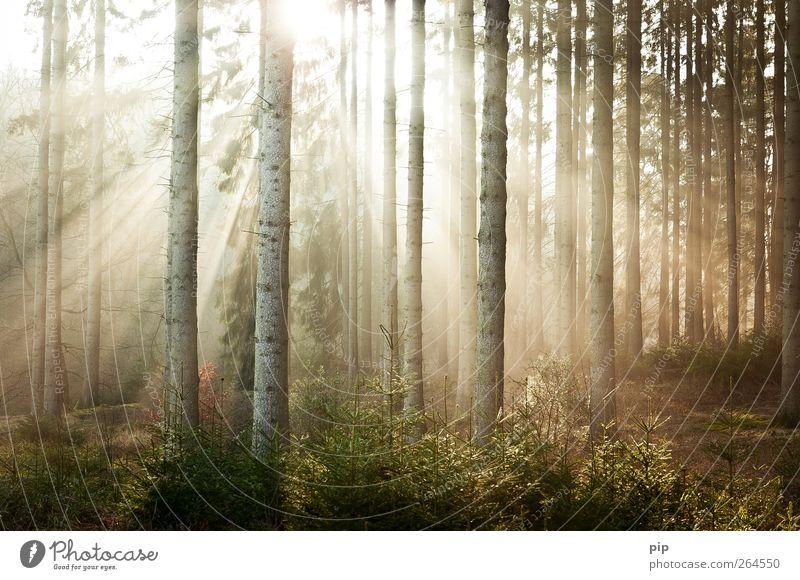sonnenaufgang Natur Baum Pflanze Sonne ruhig Wald Umwelt hell frisch Schönes Wetter Tanne Baumstamm strahlend Fichte Unterholz Nadelwald