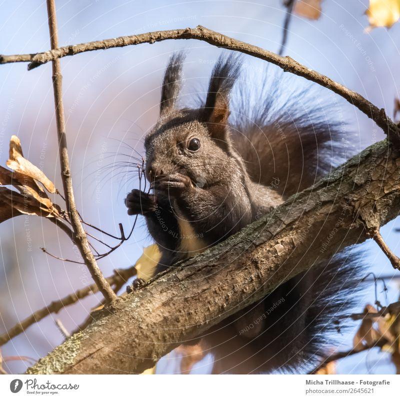 Fressendes Eichhörnchen im Baum Natur Tier Himmel Sonnenlicht Schönes Wetter Wald Wildtier Tiergesicht Fell Krallen Pfote Nagetiere Ohr Nase Maul 1 genießen