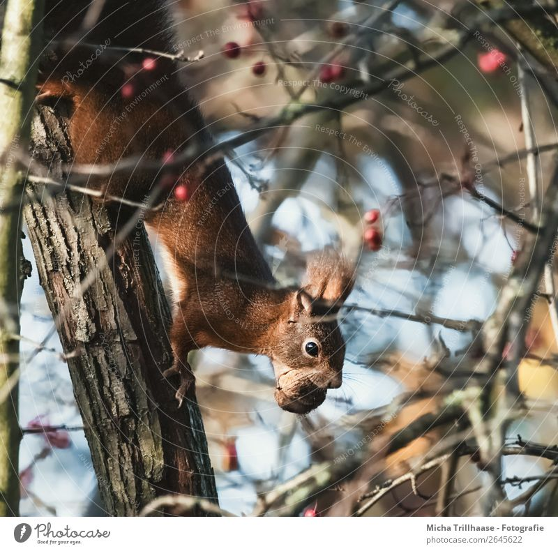 Eichhörnchen mit Nuss im Maul Natur blau grün Baum Tier gelb orange Frucht Wildtier Sträucher Schönes Wetter Geschwindigkeit niedlich nah Fell Appetit & Hunger