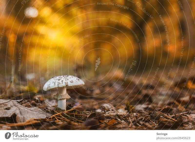 Alleinstehend im Abendlicht Natur Landschaft Pflanze Tier Sonnenaufgang Sonnenuntergang Herbst Wald Wachstum Pilz Farbfoto Gedeckte Farben mehrfarbig