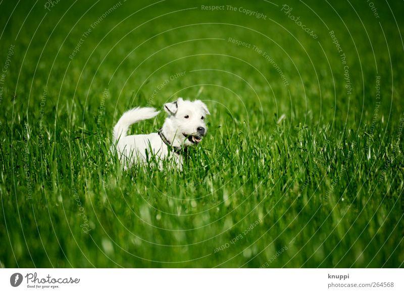 Frostie V Hund weiß grün Sonne Tier Wiese Gras Frühling Tierjunges Feld genießen Haustier