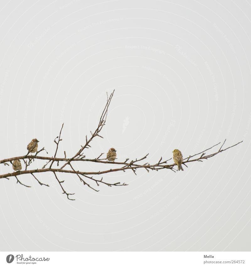 Klönschnack Umwelt Natur Luft Pflanze Ast Tier Vogel Spatz Fink 4 Tiergruppe hocken Blick sitzen frei Zusammensein klein natürlich niedlich trist grau Freiheit