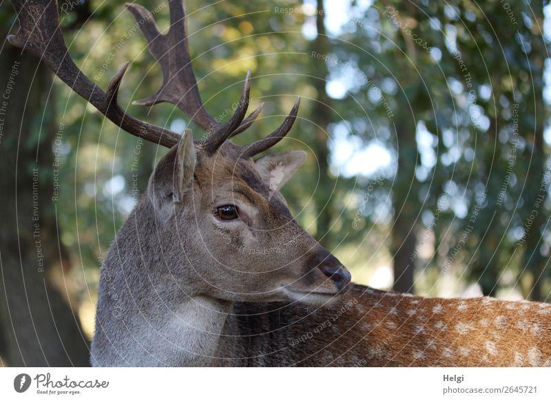 Porträt eines Damhirsches, der nach hinten schaut Umwelt Natur Landschaft Pflanze Tier Herbst Schönes Wetter Baum Wald Wildtier Damwild 1 Blick stehen