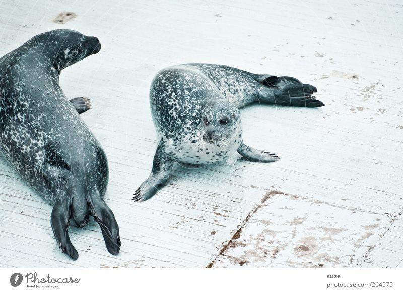 Ringelrobben Tier Wildtier 2 Tierpaar liegen lustig Neugier niedlich wild Seehund Robben Tierschutz Kopf Steg Holzfußboden Flosse tierisch Farbfoto