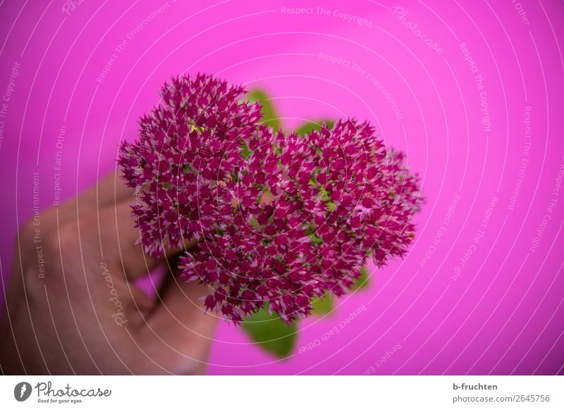 Mein Blumenherz Hand Finger Pflanze Blüte Blumenstrauß wählen berühren festhalten frisch trashig rosa Lebensfreude Sympathie Freundschaft Liebe Verliebtheit