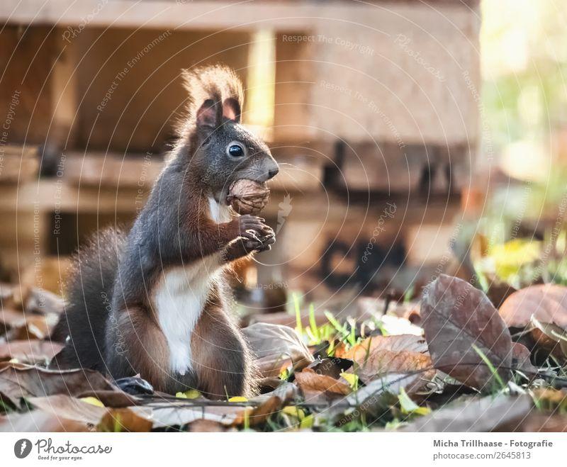 Stehendes Eichhörnchen mit Nuss im Maul Frucht Walnuss Natur Tier Sonnenlicht Schönes Wetter Blatt Herbstlaub Wildtier Tiergesicht Fell Krallen Pfote Nagetiere