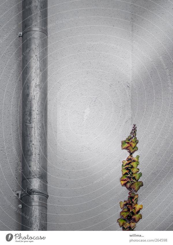 up & down Pflanze Wand grau Mauer Beginn Wachstum Hoffnung Eisenrohr aufwärts abwärts Efeu Ranke Dachrinne Fallrohr aufstrebend Putzfassade
