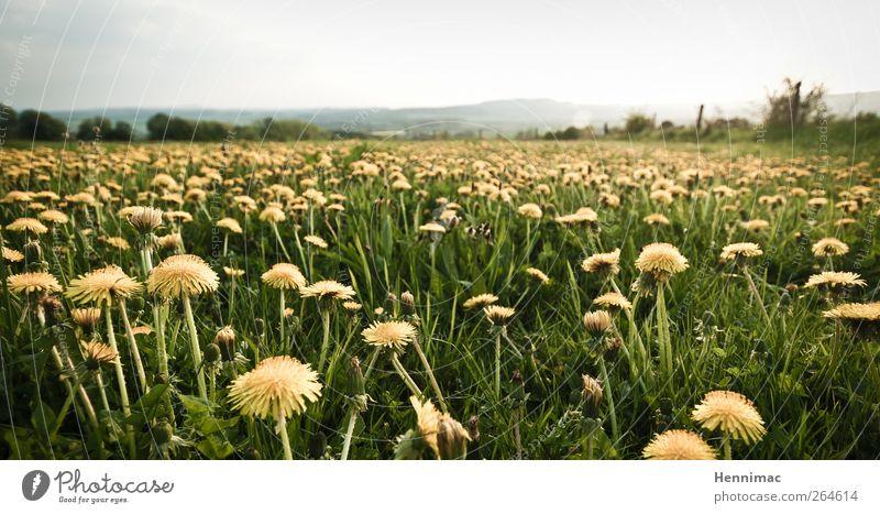 Aufstand der Löwenzähne. Umwelt Natur Landschaft Pflanze Himmel Horizont Frühling Klima Blume Blüte Wildpflanze Wiese gelb grün Frühlingsgefühle Kraft Duft