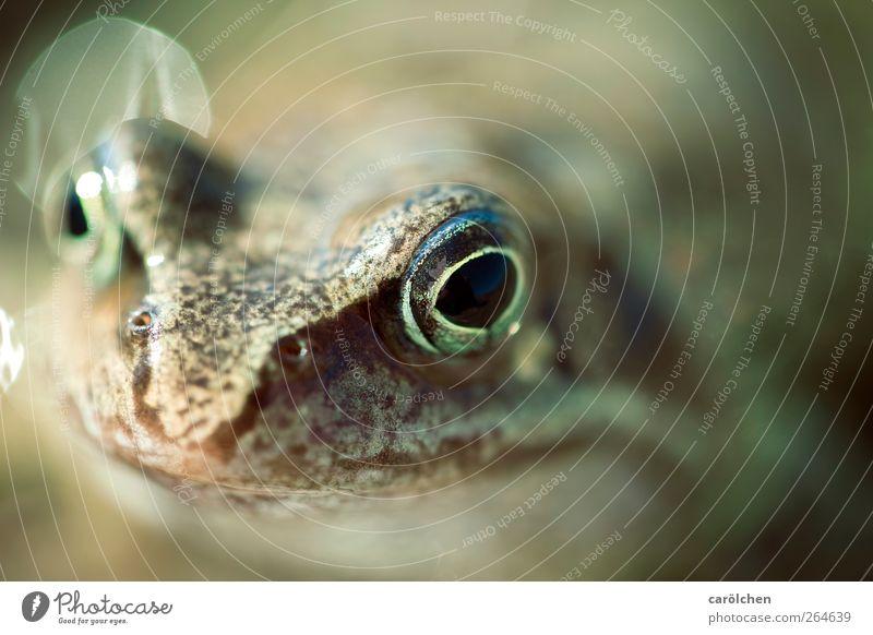 Was guckst Du? grün Tier Auge braun Wildtier Lächeln Freundlichkeit Frosch Kröte Froschkönig Froschauge