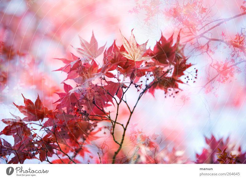 blühender Ahorn Natur Frühling Herbst Blatt Ahornblatt Ahornzweig herbstlich Herbstfärbung Zweige u. Äste natürlich rosa rot Frühlingsgefühle Farbfoto