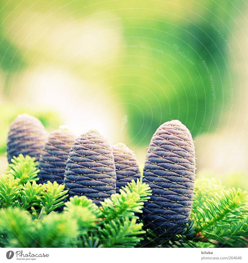 Frühlingserwachen Natur Tier Wildpflanze Tanne Zapfen Tannenzweig Tannennadel grün silber Frühlingsgefühle Vorfreude Leben Farbfoto Außenaufnahme Menschenleer