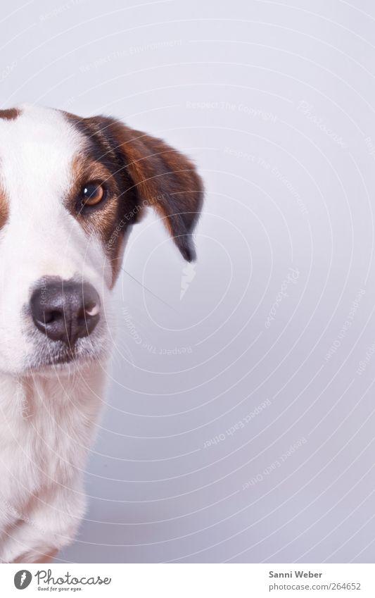 Hund weiß schön Tier Liebe Denken elegant wild ästhetisch Fröhlichkeit gut Coolness niedlich einzigartig Fell Lächeln