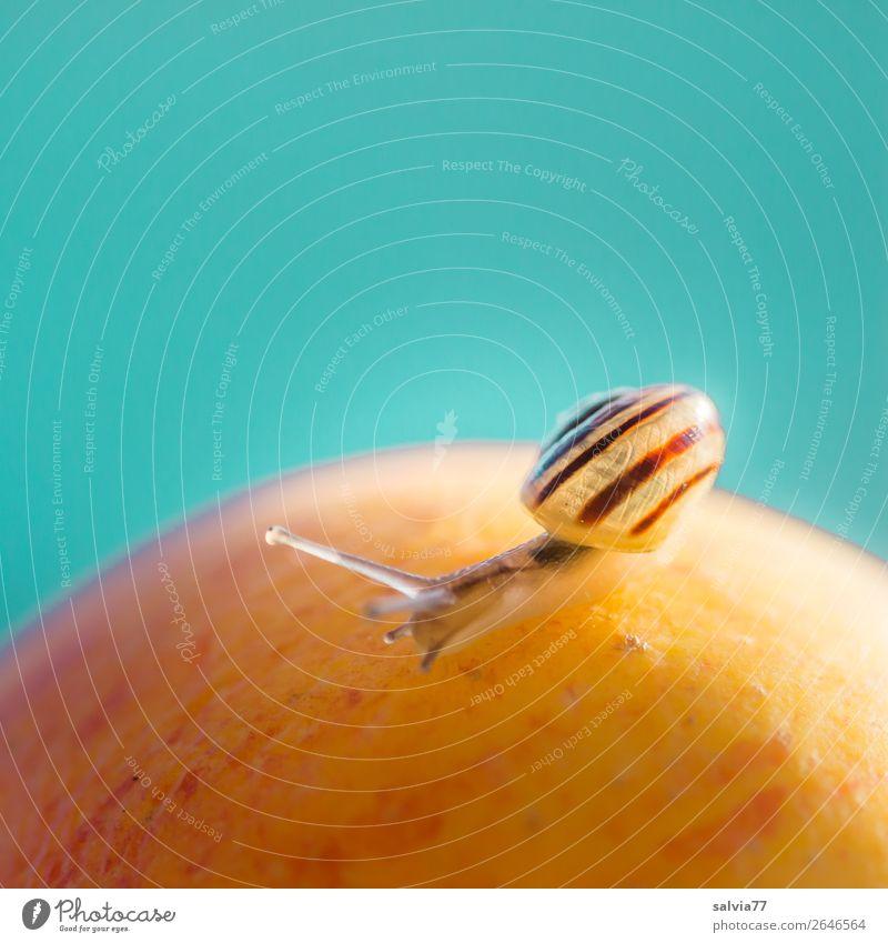 Apfelerkundung Frucht Natur Schnecke kriechen Fühler Tier langsam Makroaufnahme Schwache Tiefenschärfe Schneckenhaus klein Gesundheit vitaminreich Ernährung