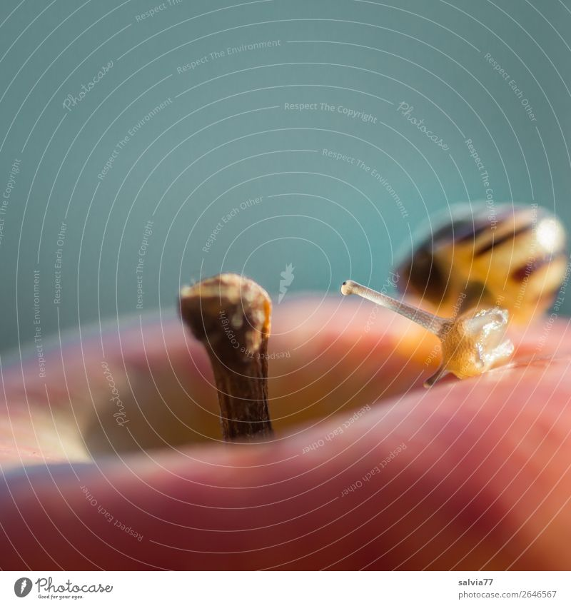 herausragend | Stiel-Augen Lebensmittel Frucht Umwelt Natur Herbst Apfel Stielauge Tier Schnecke Hainbänderschnecke 1 frisch Gesundheit lecker gelb orange
