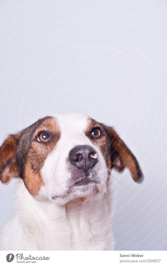 ängstlicher Rebell Lebensmittel Handwerk Haustier Hund Tiergesicht 1 gebrauchen Beratung füttern genießen Jagd Blick ästhetisch Coolness frei Freundlichkeit