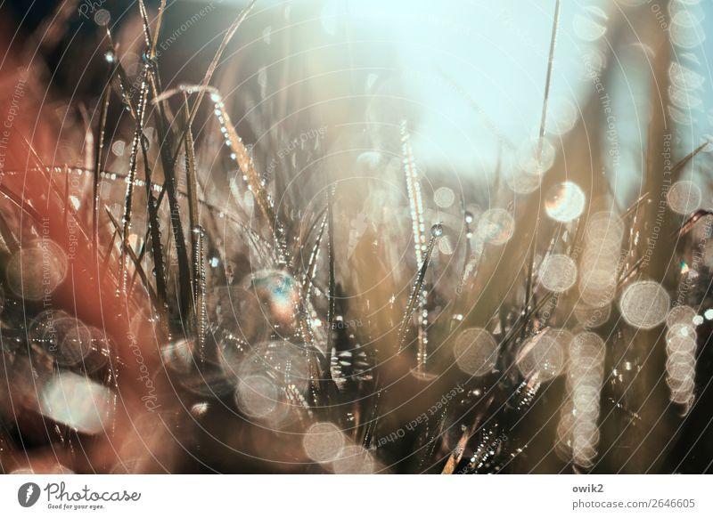 In die Binsen Umwelt Natur Landschaft Pflanze Urelemente Erde Wassertropfen Wolkenloser Himmel Herbst Schönes Wetter Gras Sträucher Halm Wiese glänzend leuchten