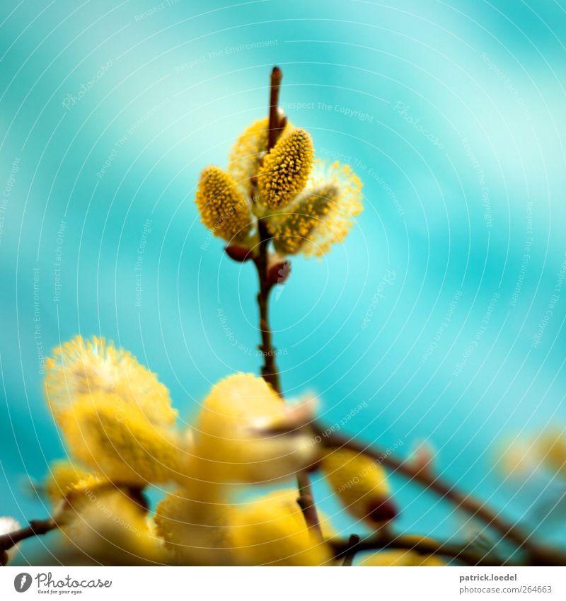 Veronika Umwelt Natur Pflanze Frühling Blühend Duft blau gelb türkis Farbfoto mehrfarbig Außenaufnahme Nahaufnahme Textfreiraum links Textfreiraum rechts
