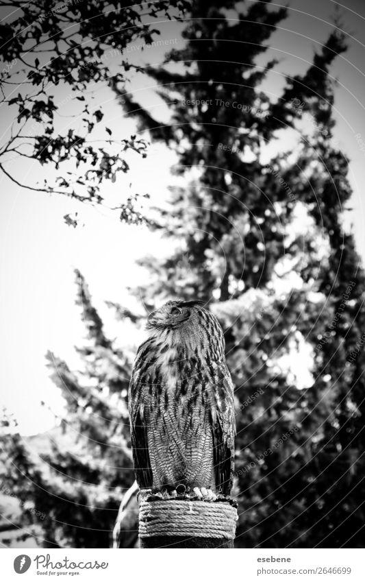 Königliche Eule in einer Ausstellung von Greifvögeln, Macht und Größe. schön Gesicht Natur Tier Vogel beobachten wild braun gelb grau rot schwarz weiß Weisheit