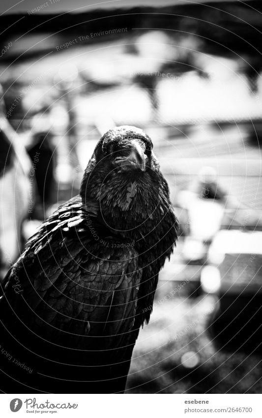 Schwarze Krähe in der Natur, Aberglaube und Hexerei Tier Park Totes Tier Vogel fliegen stehen dunkel hell wild schwarz weiß Rabe vereinzelt Corvus Tierwelt