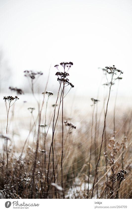 Achtung, sie kommen noch, die Eisheiligen! Natur Landschaft Pflanze Himmel Winter Klima Frost Schnee Blume Wildpflanze Gewöhnliche Schafgarbe Park Wiese Feld