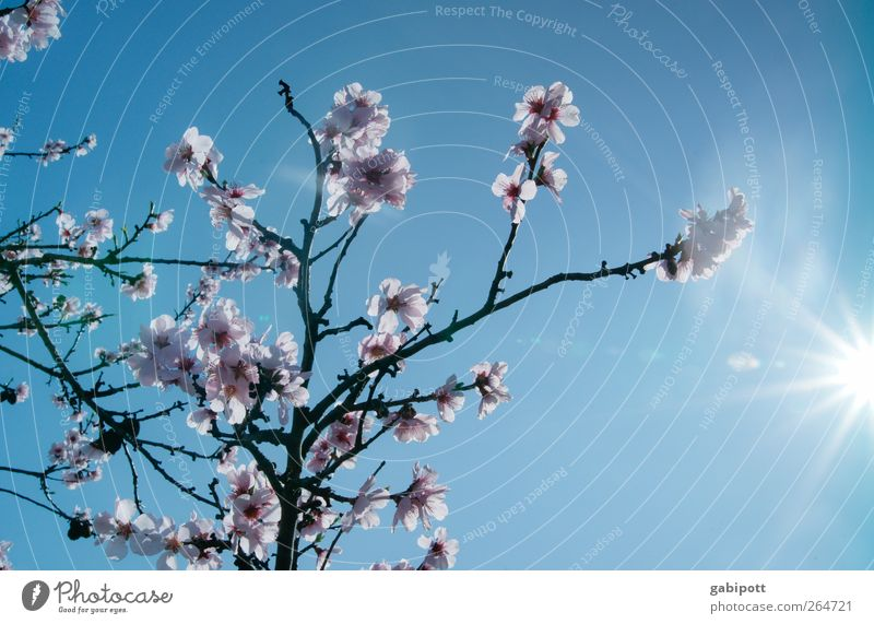 die Arme in die Sonne strecken Umwelt Natur Landschaft Pflanze Himmel Wolkenloser Himmel Sonnenlicht Frühling Wetter Schönes Wetter Baum exotisch Mandelblüte