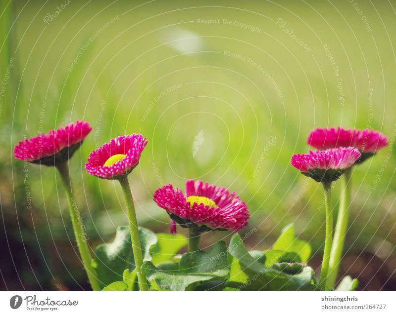 we are family Natur grün Pflanze gelb Frühling Garten rosa mehrere Wachstum stehen Blühend Zusammenhalt Lebensfreude Gänseblümchen Frühlingsgefühle