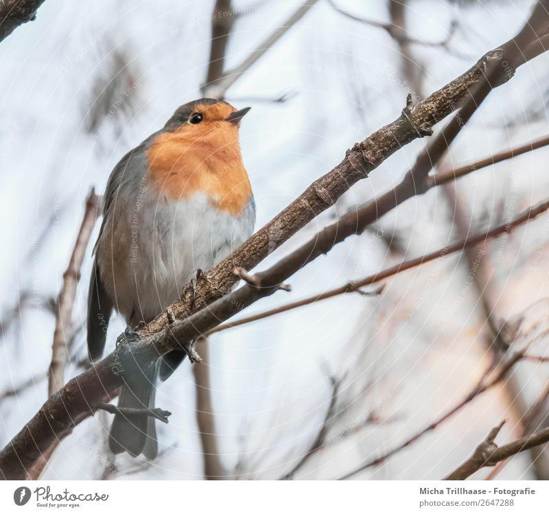 Rotkehlchen im Baum Himmel Natur blau Tier gelb Auge natürlich klein orange Vogel grau leuchten glänzend Wildtier sitzen