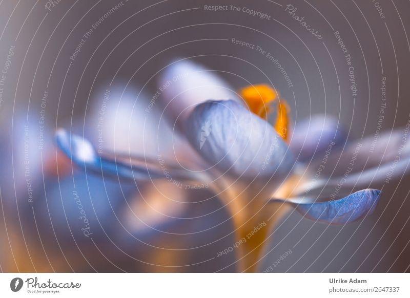 Leuchten im Frühling Natur Pflanze blau Blume Hintergrundbild Leben Blüte Feste & Feiern Stil Design Dekoration & Verzierung leuchten glänzend elegant Hoffnung