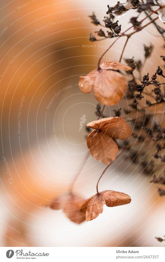 Verblühte Hortensien Wellness Spa Tapete Buchcover Postkarte Trauerkarte Trauerfeier Beerdigung Natur Pflanze Herbst Winter Blume Blüte Hortensienblüte Garten