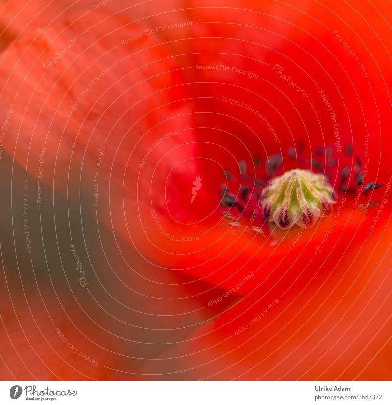 Mohn ( Papaver ) - Blumen und Natur elegant Design Wellness Leben harmonisch Wohlgefühl Zufriedenheit Erholung ruhig Meditation Kur Spa Dekoration & Verzierung