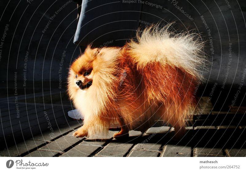 dog street fotographer Hund Tier schwarz Wand grau klein Stein braun elegant laufen außergewöhnlich ästhetisch Fröhlichkeit niedlich Spaziergang weich