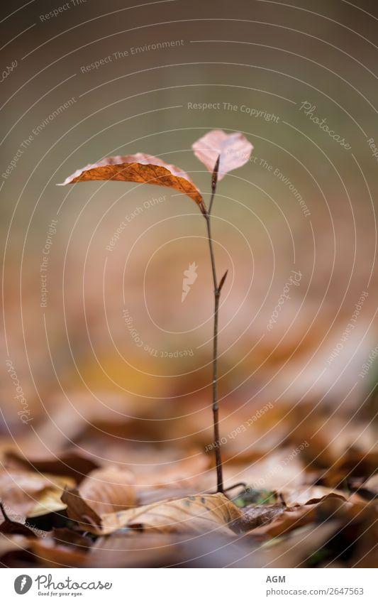 Nachwuchs Natur Pflanze Herbst Baum Blatt Blattknospe Wald Wachstum dünn braun Lebensfreude Gelassenheit ruhig Kindheit unschuldig Farbfoto Gedeckte Farben