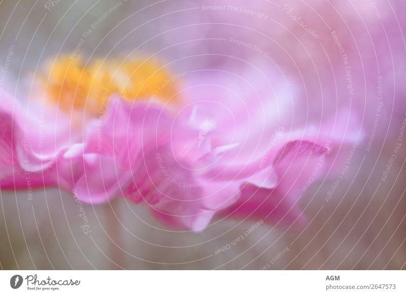 florale Anmut Natur Pflanze schön Freude Leben gelb Frühling natürlich Glück Garten rosa Park träumen elegant ästhetisch Fröhlichkeit