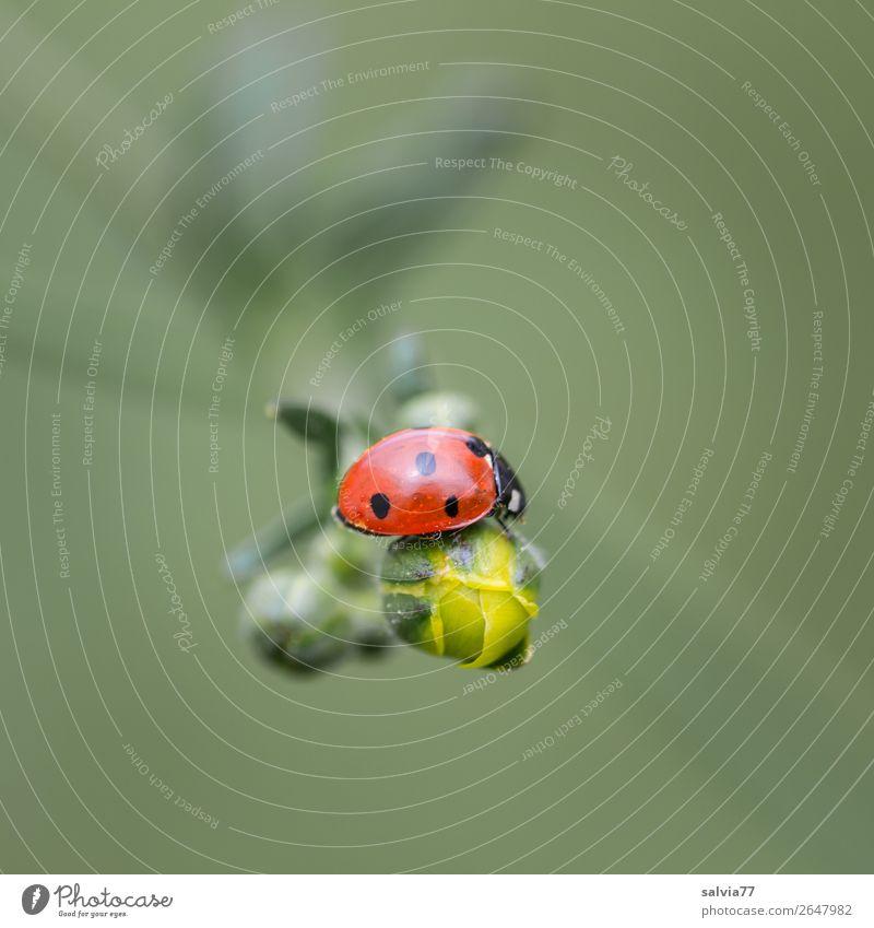 Marienkäfer Umwelt Natur Frühling Pflanze Blume Blatt Blütenknospen Hahnenfuß Wiese Tier Käfer Siebenpunkt-Marienkäfer Insekt 1 krabbeln Glück Farbfoto