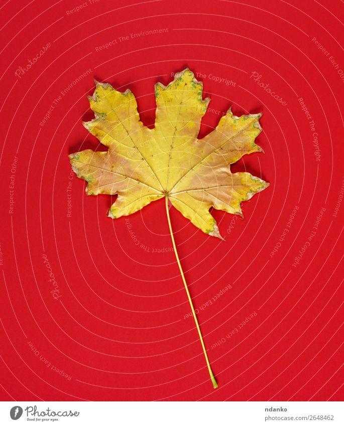 ein gelbes Trockenblatt eines Ahorns auf rotem Grund Natur Pflanze Herbst Blatt gold Stimmung Farbe herbstlich Hintergrund Kopie trocknen fallen Rahmen November
