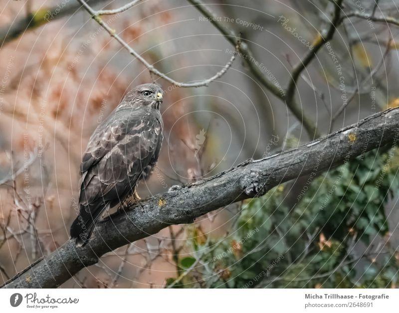 Mäusebussard im Baum Natur Tier Herbst Wildtier Vogel Tiergesicht Flügel Krallen Greifvogel Bussard Feder Schnabel 1 beobachten Jagd Blick sitzen warten