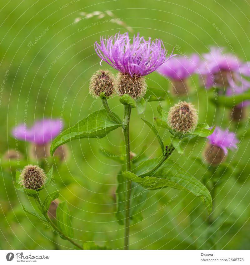 Distel Umwelt Natur Pflanze Sommer Blume Blatt Blüte Grünpflanze Wildpflanze Garten Park Wiese grün violett rosa Komplementärfarbe Farbfoto mehrfarbig