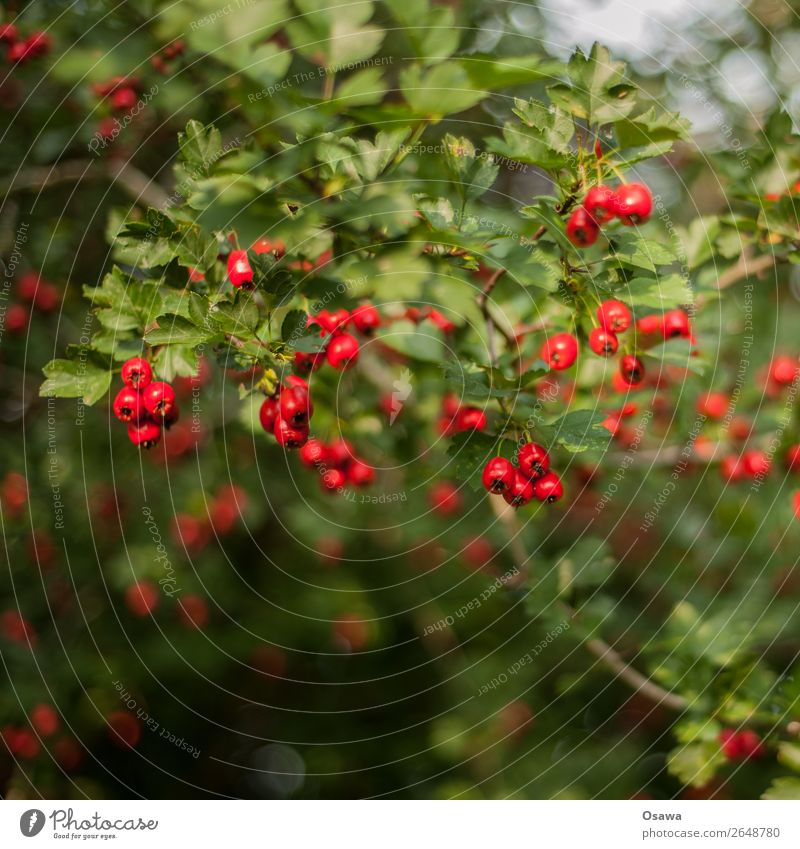 Rote Beeren Natur Pflanze Sommer Sträucher Garten Park Wald grün rot Beerensträucher Blatt Frucht Vogelbeeren Kontrast Komplementärfarbe Farbfoto Außenaufnahme