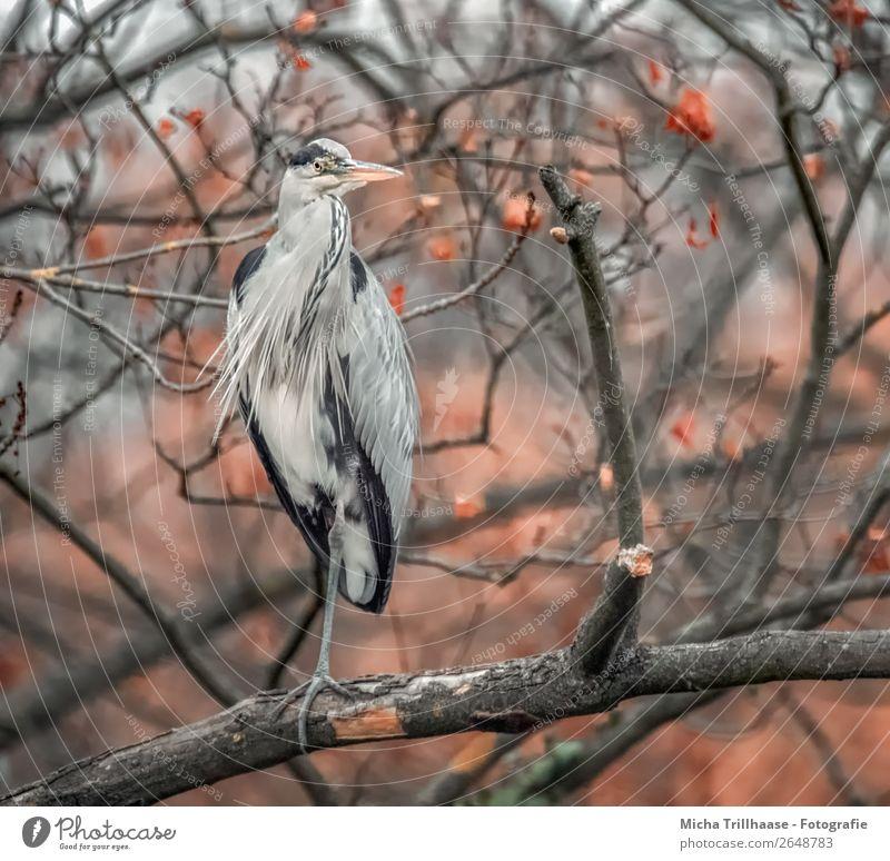 Fischreiher im herbstlichen Baum Natur weiß rot Tier schwarz Herbst Umwelt natürlich orange Vogel grau Wildtier stehen Feder warten