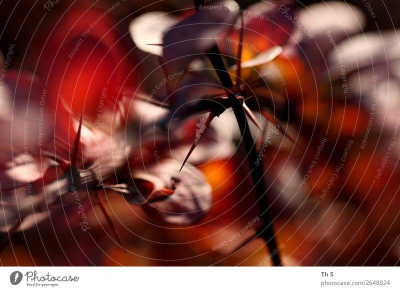 Herbst Natur Pflanze Winter Bewegung verblüht ästhetisch authentisch einfach elegant natürlich braun rot schwarz Gelassenheit geduldig ruhig einzigartig Blatt