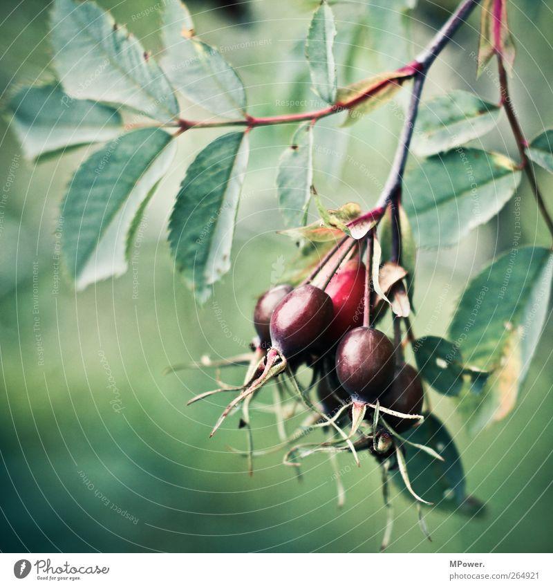 ein bündel hagebutte Natur Pflanze grün rot Blatt Tier Umwelt Gesundheit Frucht Ast rund Tee stachelig Nutzpflanze Grünpflanze Hagebutten