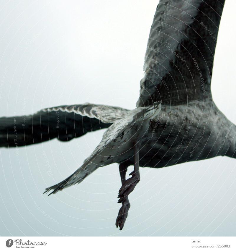 KI09 | Kopfloses Herumgeflügel Tier Wildtier Vogel Flügel Pfote Möwe 1 fliegen dunkel rebellisch Geschwindigkeit grau Euphorie Kraft Mut beweglich Enttäuschung