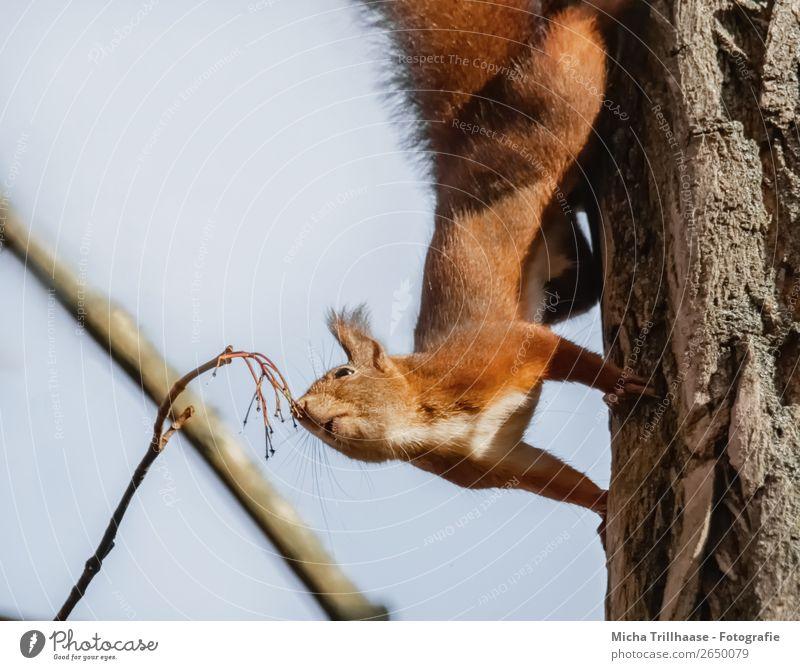 Schnüffelndes Eichhörnchen Natur Tier Himmel Sonnenlicht Schönes Wetter Baum Wildtier Tiergesicht Fell Krallen Pfote Nase Maul Ohr 1 Duft entdecken hängen nah