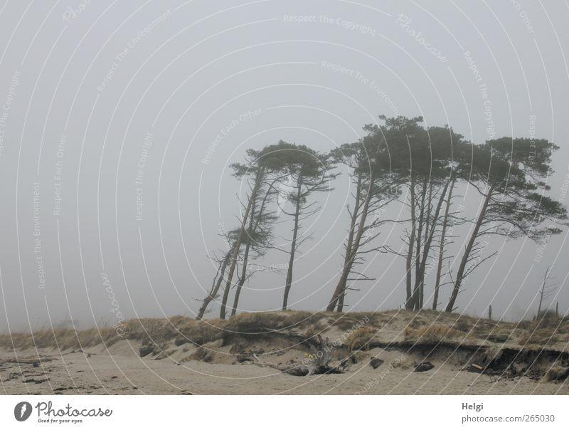 Nebelflüchter... Umwelt Natur Landschaft Pflanze Himmel Wetter Baum Gras Kiefer Küste Strand Ostsee Darß Weststrand Windflüchter stehen Wachstum authentisch