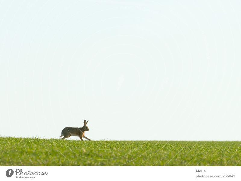 Jump, jump ... Ostern Osterhase Umwelt Natur Landschaft Tier Frühling Gras Wiese Feld Wildtier Hase & Kaninchen 1 Bewegung laufen frei natürlich niedlich blau