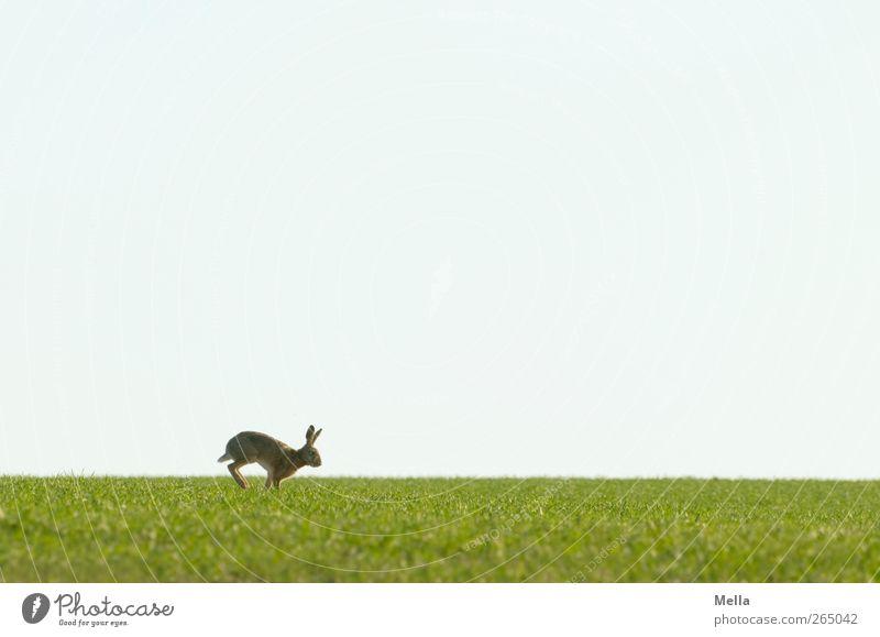 ... jump! Ostern Osterhase Umwelt Natur Landschaft Tier Frühling Wiese Feld Wildtier Hase & Kaninchen 1 Bewegung laufen frei natürlich niedlich blau grün