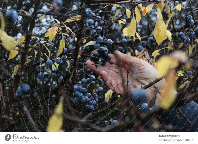 beeren ernte Hand Natur Herbst Sträucher Beerensträucher Beerenfruchtstand genießen Gesundheit blau gelb zurückhalten Kindheit Nostalgie sparsam Wachstum