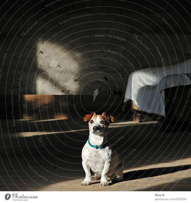 Willst du mich hier etwa alleine lassen ? Tier Haustier Hund 1 sitzen warten Sympathie Überraschung Jack-Russell-Terrier Sofa Holzfußboden Heuboden Farbfoto